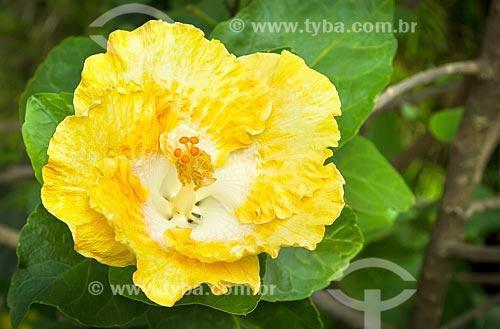 Detalhe de flor do hibisco amarelo (Hibiscus brackenridgei)  - Guarani - Minas Gerais (MG) - Brasil