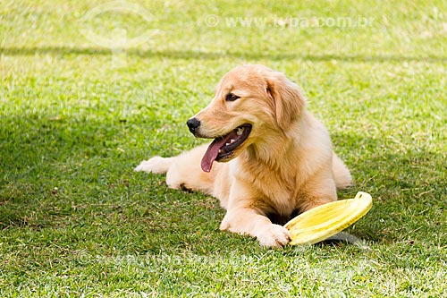 Cão golden retriever brincando com frisbee  - Guarani - Minas Gerais (MG) - Brasil