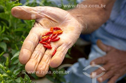 Detalhe de mão de agricultor com pimentas-malagueta  - Guarani - Minas Gerais (MG) - Brasil
