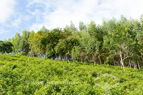 Detalhe de plantação de pimenta com plantação de eucalipto ao fundo  - Guarani - Minas Gerais (MG) - Brasil