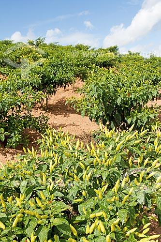 Vista de plantação de pimenta-malagueta  - Guarani - Minas Gerais (MG) - Brasil