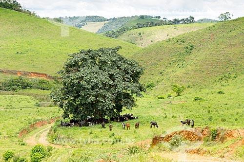 Gado se protegendo do sol em fazenda na zona rural da cidade de Guarani  - Guarani - Minas Gerais (MG) - Brasil