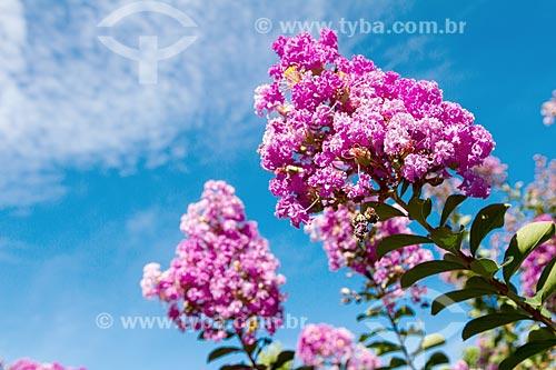 Detalhe de flor de extremosa (Lagerstroemia indica) - também conhecida como escumilha e resedá  - Guarani - Minas Gerais (MG) - Brasil