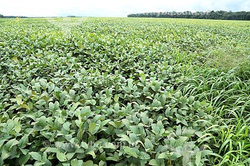 Detalhe de plantação de soja  - Vilhena - Rondônia (RO) - Brasil