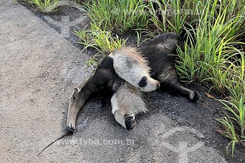 Tamanduá-bandeira (Myrmecophaga tridactyla) morto no acostamento da Rodovia BR-070  - Cáceres - Mato Grosso (MT) - Brasil