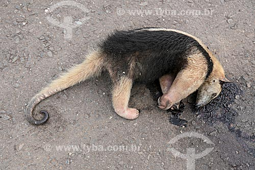 Tamanduá-bandeira (Myrmecophaga tridactyla) morto no acostamento da Rodovia BR-070  - Poconé - Mato Grosso (MT) - Brasil