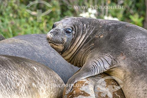 Detalhe de Elefante-marinho-do-sul (Mirounga leonina)  - Província Terra do Fogo - Chile