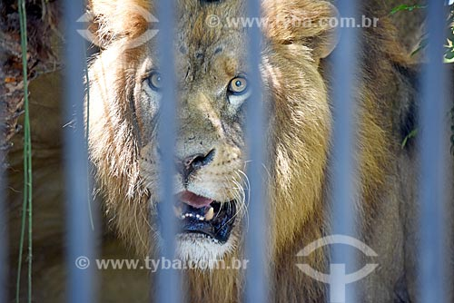 Detalhe de Leão (Panthera leo) no Jardim Zoológico do Rio de Janeiro  - Rio de Janeiro - Rio de Janeiro (RJ) - Brasil