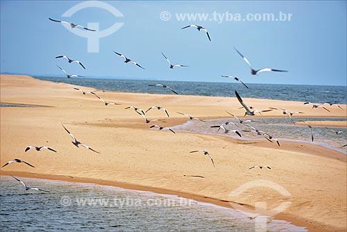 Gaivotas no Rio Arapiuns  - Santarém - Pará (PA) - Brasil