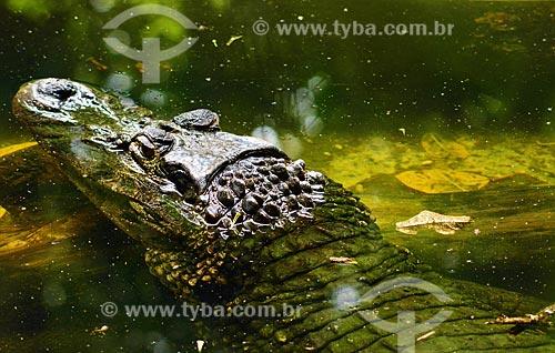 Jacaretinga (Caiman crocodilus)  - Pará (PA) - Brasil