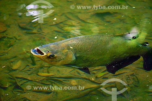 Tambaqui (Colossoma macropomum)  - Pará (PA) - Brasil