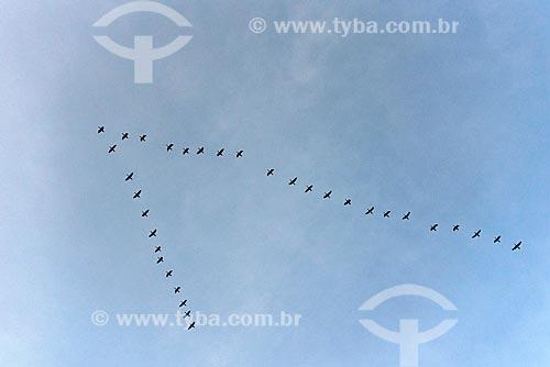 Bando de biguás (Phalacrocorax brasilianus) voando em formação sobre a Praia do Vidigal  - Rio de Janeiro - Rio de Janeiro (RJ) - Brasil