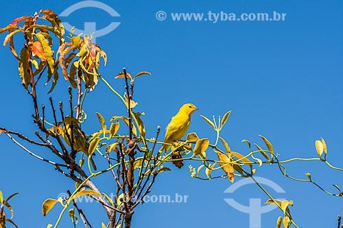 Detalhe de canário-da-terra-verdadeiro (Sicalis flaveola) - também conhecido como Chapinha e Canário-da-horta - na Serra do Cipó  - Santana do Riacho - Minas Gerais (MG) - Brasil
