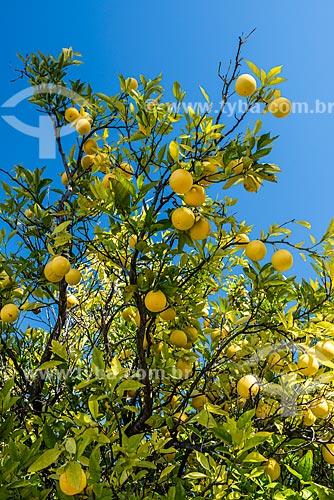 Laranja ainda na laranjeira (Citrus sinensis) na Serra do Cipó  - Santana do Riacho - Minas Gerais (MG) - Brasil