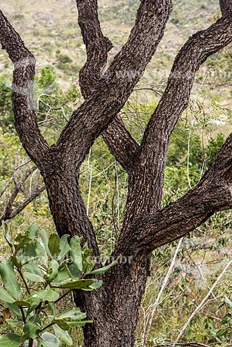 Detalhe de tronco de árvore típica do cerrado no Parque Nacional da Serra do Cipó  - Santana do Riacho - Minas Gerais (MG) - Brasil