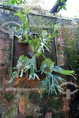 Chifre-de-Veado (Platycerium bifurcatum) na Agrícola da Ilha  - Joinville - Santa Catarina (SC) - Brasil