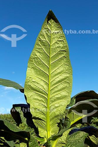 Detalhe de plantação de tabaco na zona rural da cidade de Guarani  - Guarani - Minas Gerais (MG) - Brasil