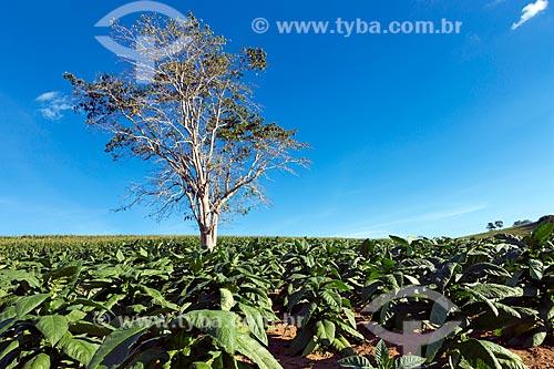Plantação de tabaco na zona rural da cidade de Guarani  - Guarani - Minas Gerais (MG) - Brasil