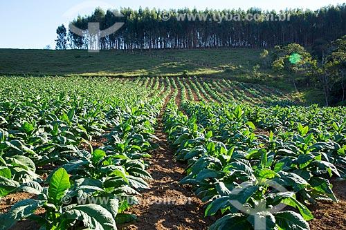 Plantação de tabaco na zona rural da cidade de Guarani com plantação de eucalipto ao fundo  - Guarani - Minas Gerais (MG) - Brasil
