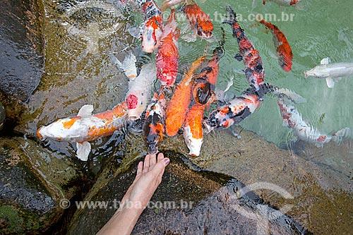 Carpas em lago artificial no Jardim dos Hemerocallis na Agrícola da Ilha  - Joinville - Santa Catarina (SC) - Brasil