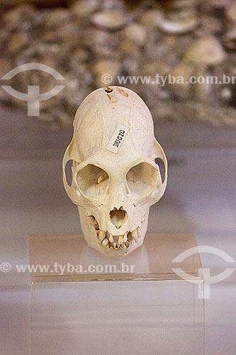 Detalhe de crânio de bugio (Alouatta caraya) - também conhecido como bugio-do-pantanal ou guariba - em exibição no Museu Arqueológico de Sambaqui de Joinville  - Joinville - Santa Catarina (SC) - Brasil