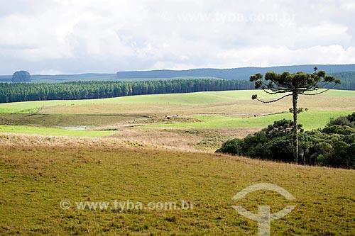 Vista de araucária (Araucaria angustifolia) em vegetação de campos de cima da Serra na cidade de São Francisco de Paula  - São Francisco de Paula - Rio Grande do Sul (RS) - Brasil