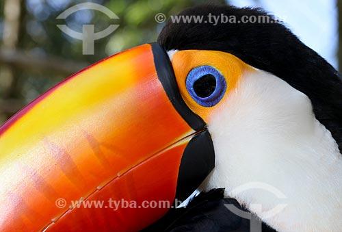 Detalhe de tucano-toco (Ramphastos toco)  - Manaus - Amazonas (AM) - Brasil