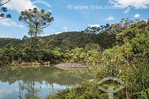 Araucária (Araucaria angustifolia) na Serra da Mantiqueira - Parque Nacional de Itatiaia  - Itatiaia - Rio de Janeiro (RJ) - Brasil