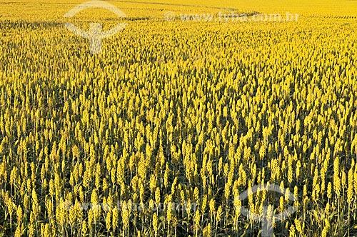 Vista geral de plantação de sorgo  - Bálsamo - São Paulo (SP) - Brasil