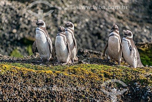 Bando de pinguins-de-magalhães (Spheniscus magellanicus) no Estrecho de Magallanes (Estreito de Magalhães)  - Província Terra do Fogo - Chile