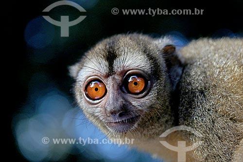 Detalhe de macaco-da-noite (Aotus Trivirgatus)  - Manacapuru - Amazonas (AM) - Brasil
