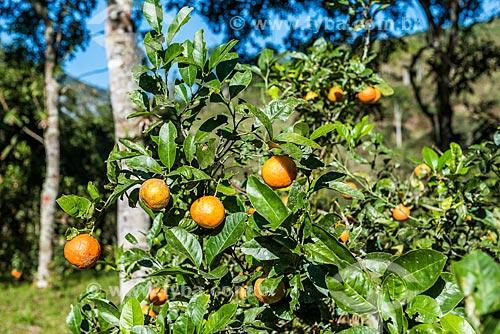 Detalhe de plantação de limão-cravo (Citrus x limonia)  - Resende - Rio de Janeiro (RJ) - Brasil