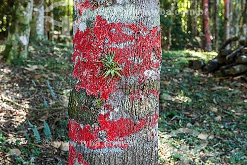 Detalhe de líquen rosa em tronco de árvore  - Resende - Rio de Janeiro (RJ) - Brasil