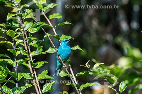 Detalhe de Saí-azul (Dacnis cayana) - também conhecido como Saí-bicudo - na APA da Serrinha do Alambari  - Resende - Rio de Janeiro (RJ) - Brasil