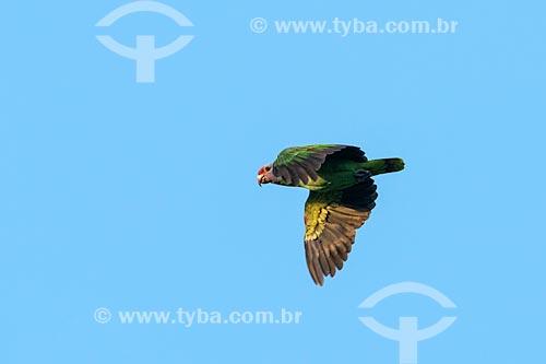 Detalhe de papagaios-de-cara-roxa (Amazona brasiliensis) no Parque Nacional de Superagüi  - Guaraqueçaba - Paraná (PR) - Brasil