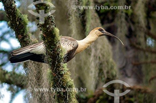 Detalhe de Curicaca (Theristicus caudatus)  - Lapa - Paraná (PR) - Brasil
