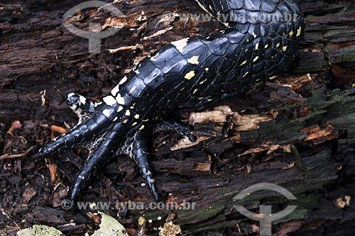 Detalhe de Jacaré-açu (Melanosuchus niger)  - Manacapuru - Amazonas (AM) - Brasil
