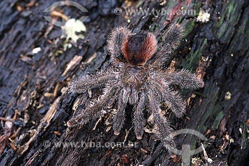 Detalhe de aranha na floresta amazônica  - Manacapuru - Amazonas (AM) - Brasil