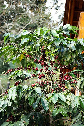 Detalhe de cafezal em fazenda na zona rural do distrito de Aracê  - Domingos Martins - Espírito Santo (ES) - Brasil