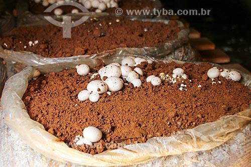 Detalhe de cultivo de cogumelo  - Domingos Martins - Espírito Santo (ES) - Brasil