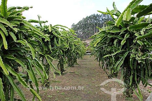 Plantação pitaia (Hylocereus)  - Espírito Santo (ES) - Brasil