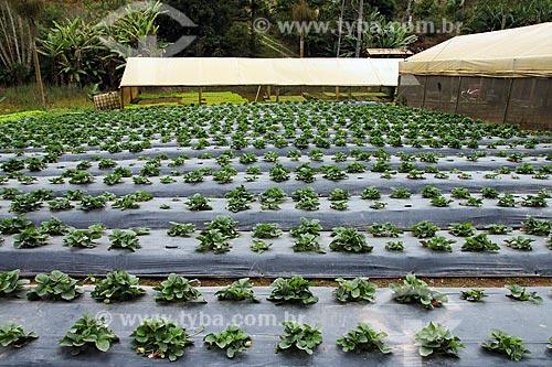 Plantação de agricultura familiar de morango  - Espírito Santo (ES) - Brasil