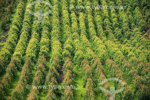 Plantação de eucalipto  - Santa Branca - São Paulo (SP) - Brasil