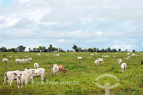Gado nelore no pasto  - Araguaína - Tocantins (TO) - Brasil