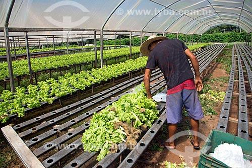 Trabalhador rural embalando alface em horta hidropônica  - Palmas - Tocantins (TO) - Brasil
