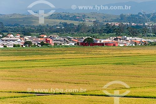 Plantação de arroz com a de Caçapava no fundo  - Caçapava - São Paulo (SP) - Brasil