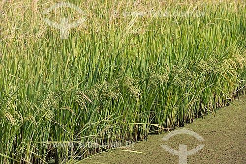 Detalhe de plantação de arroz  - Caçapava - São Paulo (SP) - Brasil