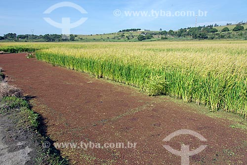 Vista geral de plantação de arroz  - Caçapava - São Paulo (SP) - Brasil
