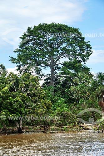 Castanheira (castanea sativa) às margens do Rio Amazonas próximo à Itacoatiara  - Itacoatiara - Amazonas (AM) - Brasil