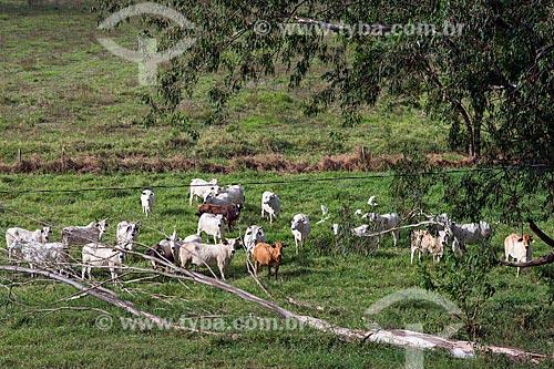 Gado no pasto na zona rural da cidade de Jacareí  - Jacareí - São Paulo (SP) - Brasil